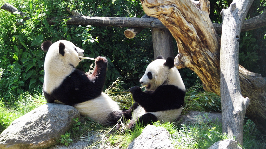 Pandy velké ve vídeňské ZOO