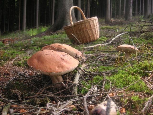 Houby lákají do lesů stovky Čechů