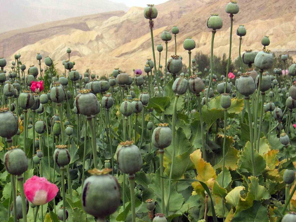 Pěstování opia v Afghánistánu