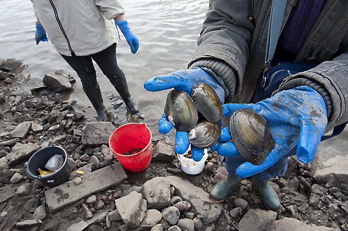 Tisíce škeblí zachraňují dobrovolníci u Vltavy v Troji