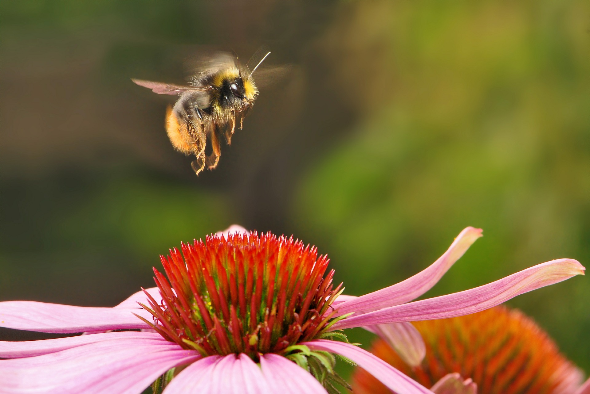 Čmelák, hmyz, květina (ilustrační foto)