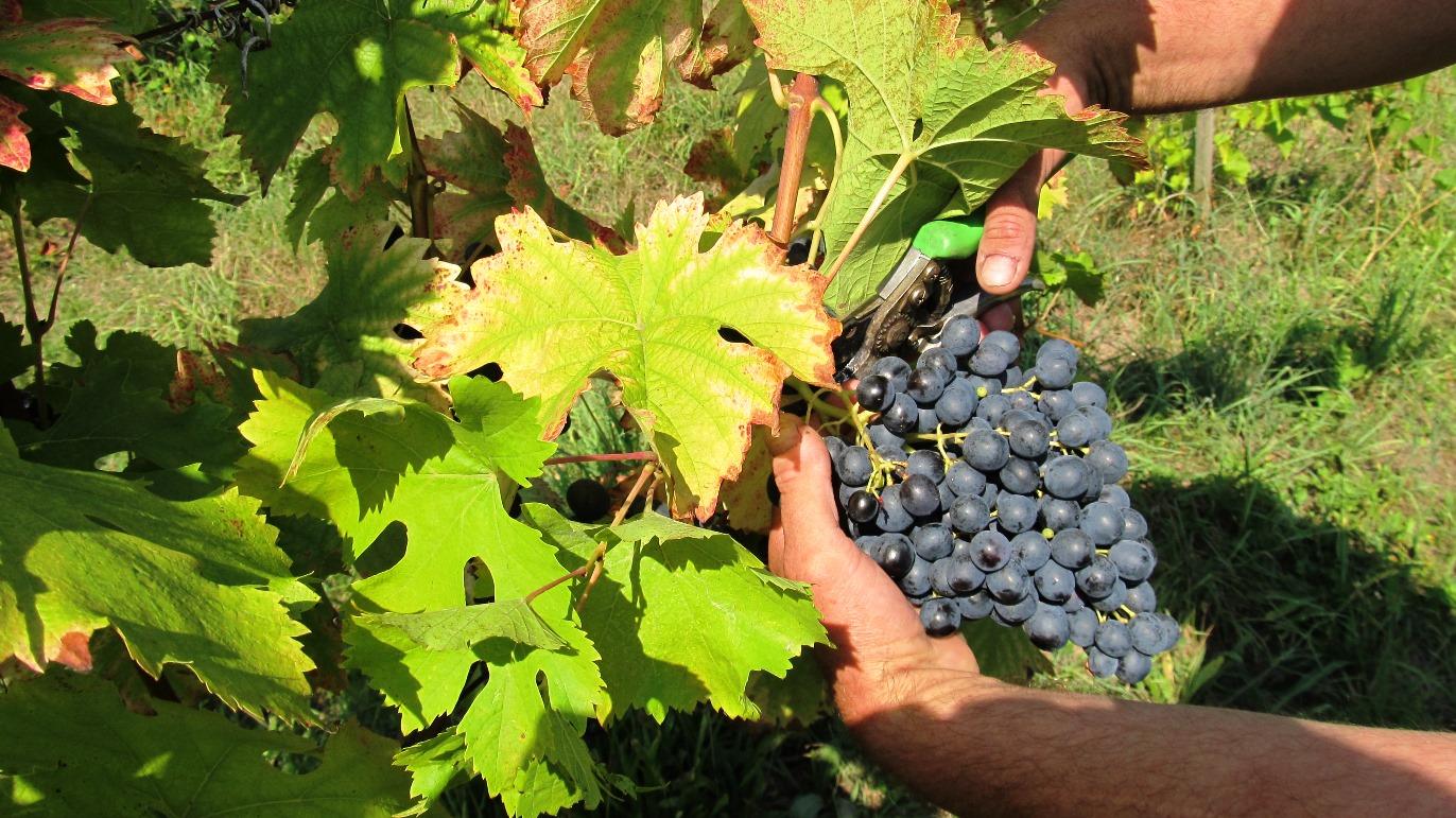 Sklizeň hroznů na kutnohorských vinicích