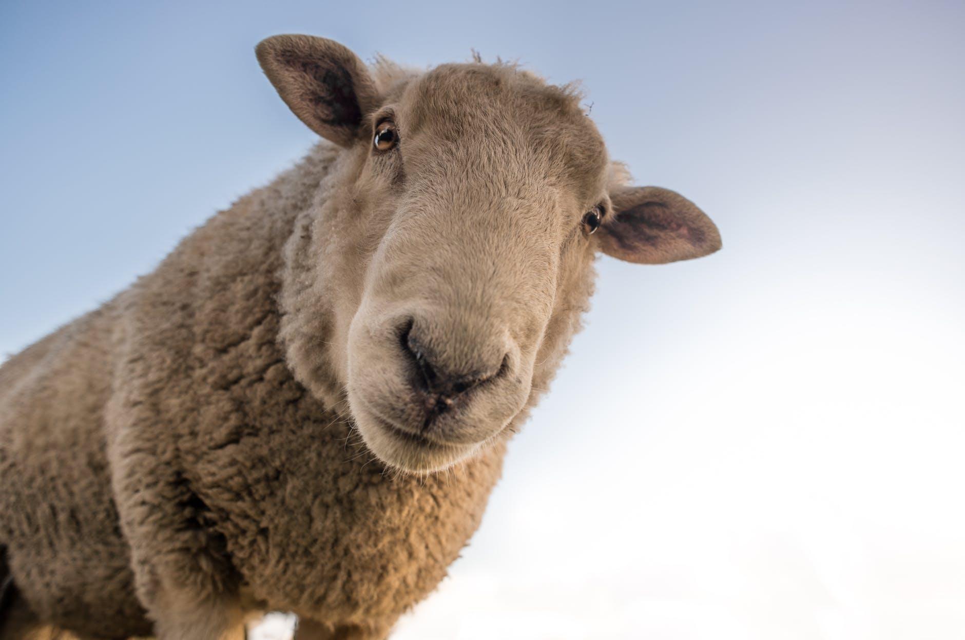 Ovce umí rozpoznávat obličeje na fotografiích.
