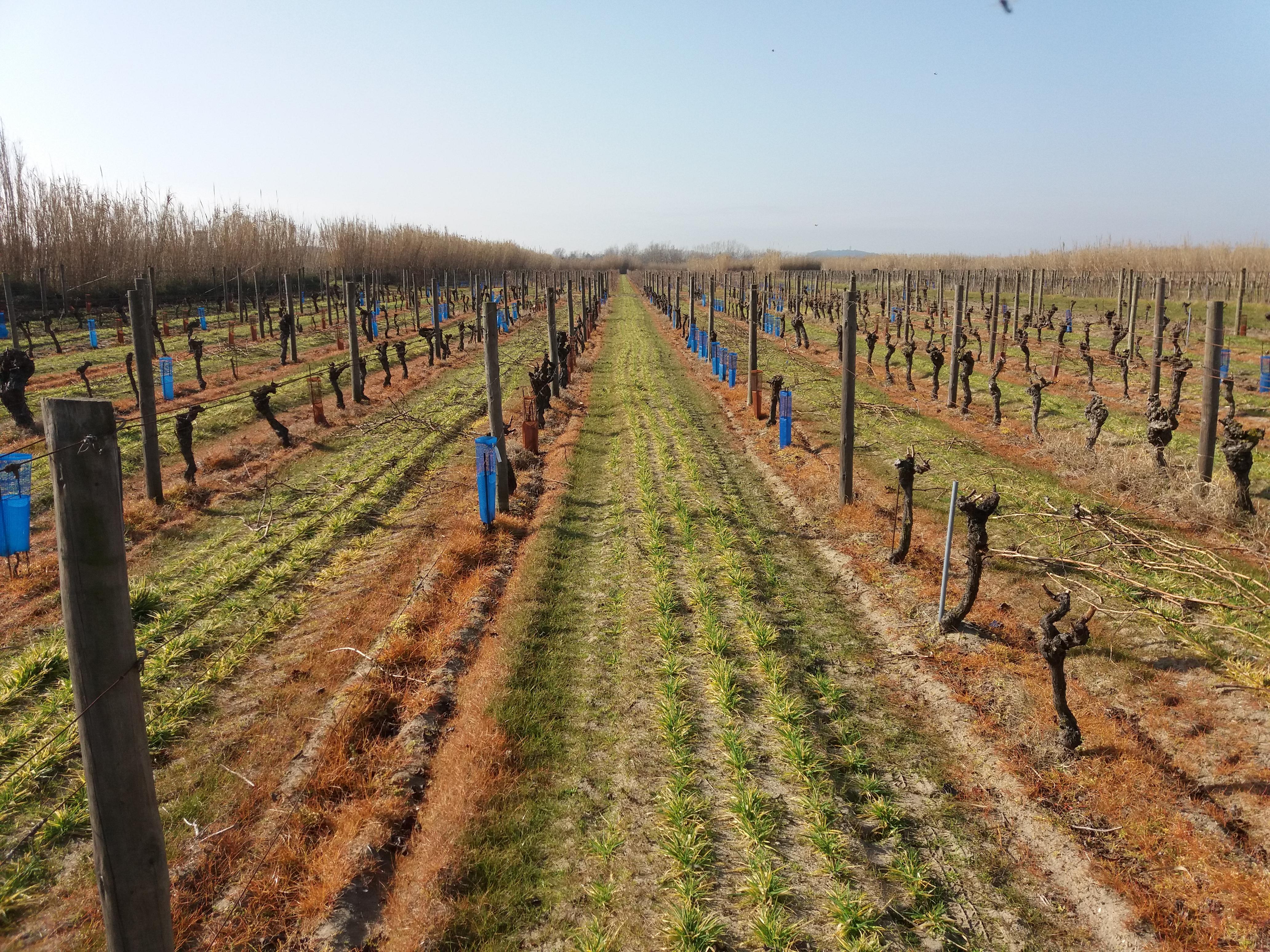 Experimentální vinice s písčitou půdou v jižní Francii