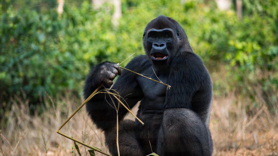 Gorila v záchranné stanici v Méfou