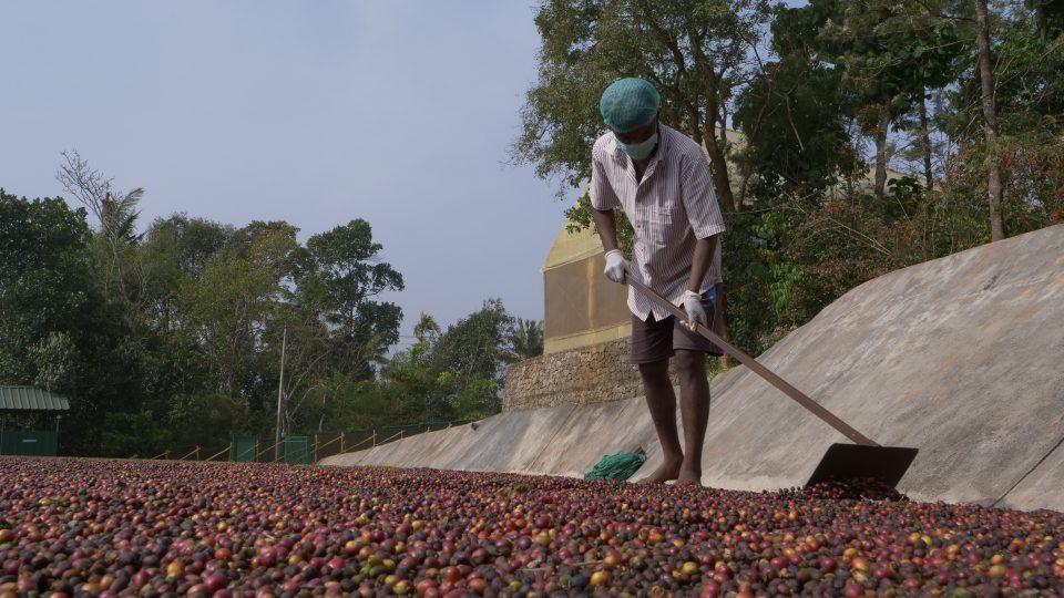 Péče o plody kávovníku
