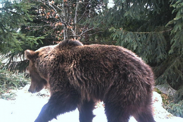 Medvěd zachycený fotopastí