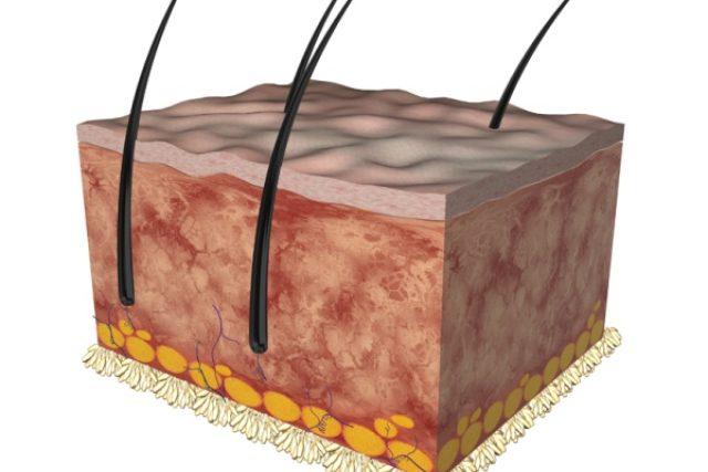 Lidská kůže (průřez)