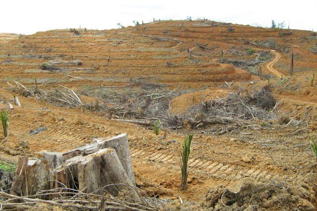 Plantáž palmy olejné