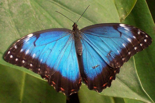 Motýl Morpho peleides pochází ze Střední a Jižní Ameriky a známý je především díky barvoměně svých modrých křídel