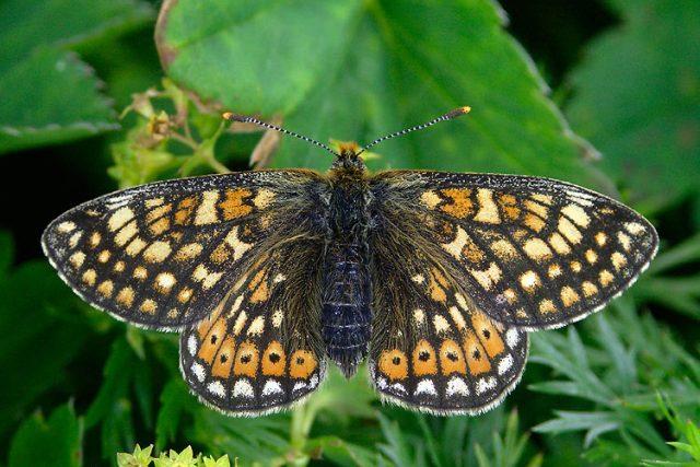 Hnědásek Euphydryas editha patří ke středním druhům motýlů,  kteří se dají najít na celém americkém Středozápadě | foto: biolib.cz ,  Michal Koupý