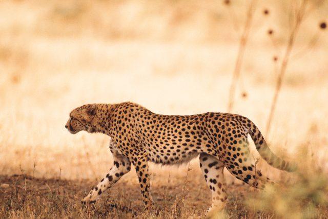 Gepard | foto:  Comstock Images