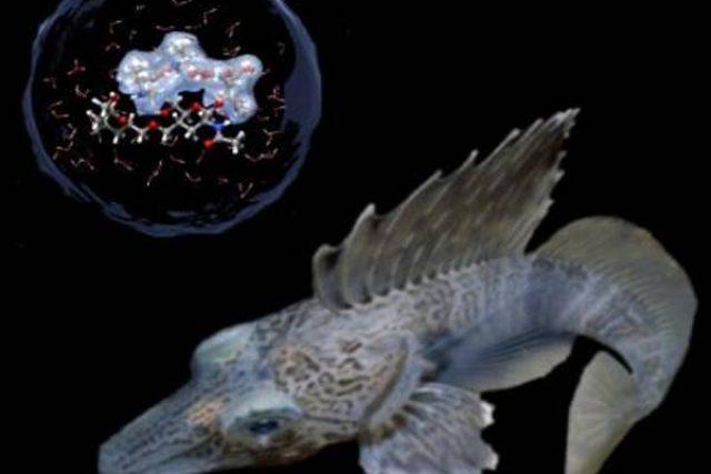 Ryba Macropteris maculatus, jejíž krev obsahuje nemrznoucí proteiny.