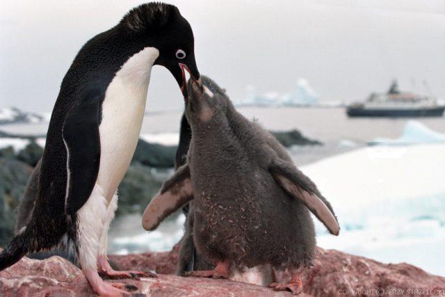 Tučňák kroužkový krmí mládě