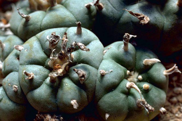 Kaktus peyotl (Lophophora williamsii), rostlina s halucinogenními účinky