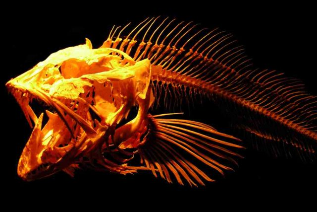 Kostra ryby, ilustrační foto