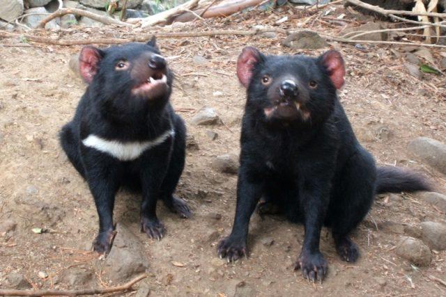 Tasmánští ďáblové mědvědovití (Sarcophilus harrisii)