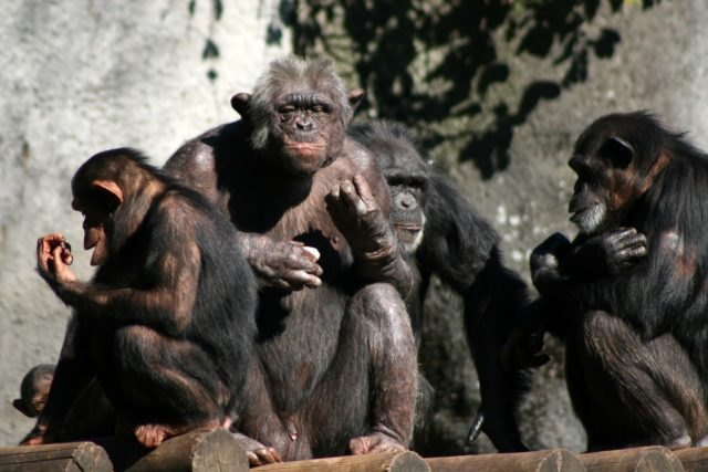 Rodinka šimpanzů, ilustrační foto