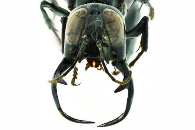 Obrovská kusadla samce vosy Megalara garuda
