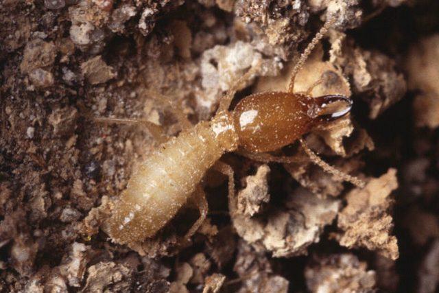 Termit-voják Coptotermes formosanus (ilustrační foto)