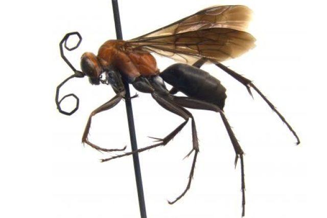 Vosa Agenioideus nigricornis z čeledi hrabalkovití