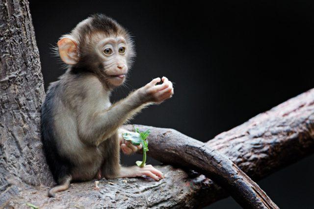 Mládě makaka vepřího