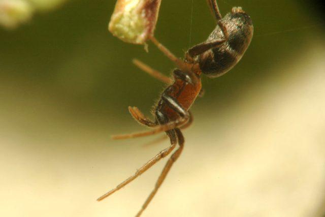 U pavouků rodu mikárie je kanibalismus normální | foto: Creative Commons  (CC BY 3.0),  Filip Trnka