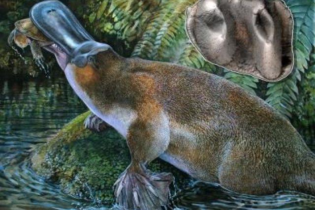 Rekonstrukce podoby ptakopyska druhu Obdurodon tharalkooschild | foto: Peter Schouten