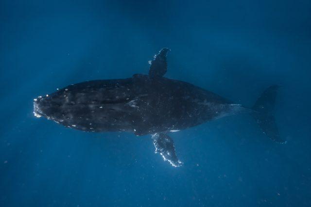 Potápění s keporkaky, které Manuela považuje za jeden z největších životních zážitků, Tonga
