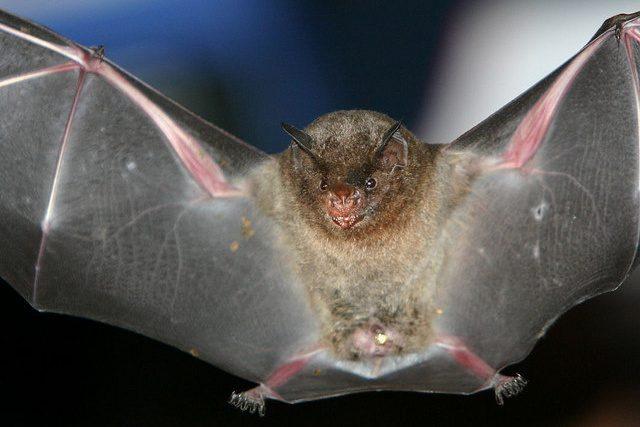Netopýr druhu Carollia brevicauda - ilustrační foto
