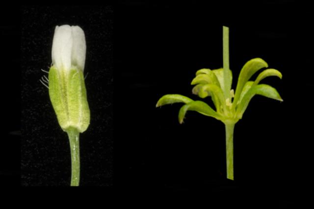 Husníček - nalevo květ zdravé rostliny, napravo květ rostliny zasažené fytoplazmou