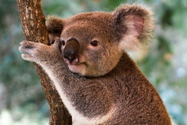 Požáry obzvlášť zdecimovaly populaci koalů,  která se už tak snižovala. Vládní úřady odhadují,  že jich při požárech mohla zahynout až celá třetina,  protože byla zničena třetina jejich biotopu   foto: Fotobanka stock.xchng