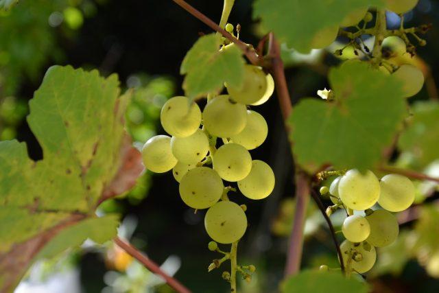 Hrozen, hrozny, hroznové víno, vinná réva