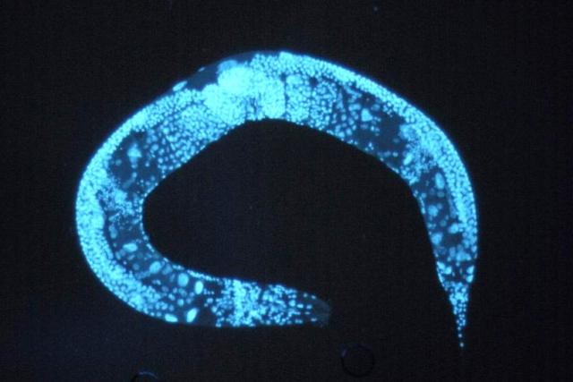 Háďátko obecné (Caenorhabditis elegans)