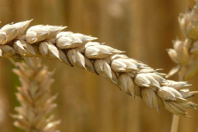 Pšenice, úroda (ilustrační foto)