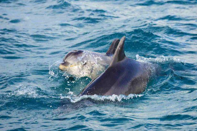 Delfín, kterého potkáte v ústí řeky Sado u města Setúbal, Portugalsko