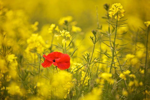 Samotná plodina,  kdyby ji tady tedy bylo rozumné množství,  je v pěstebním postupu půdě prospěšná,  říká Jakub Hruška | foto: licence Creative Commons Atribution-NonCommecial-NoDerivs 2.0 Generic,  Richard Walker