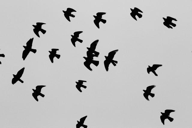 Ptáci, hejno