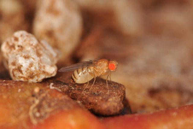 Octomilka obecná svým nenápadným zbarvením často uniká pozornosti a objevíte ji tak, až když jsou jich desítky či stovky