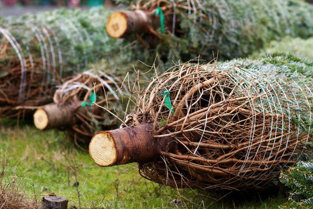 vánoční stromek, strom, vánoce, nákup stromečků (ilustrační obr.)