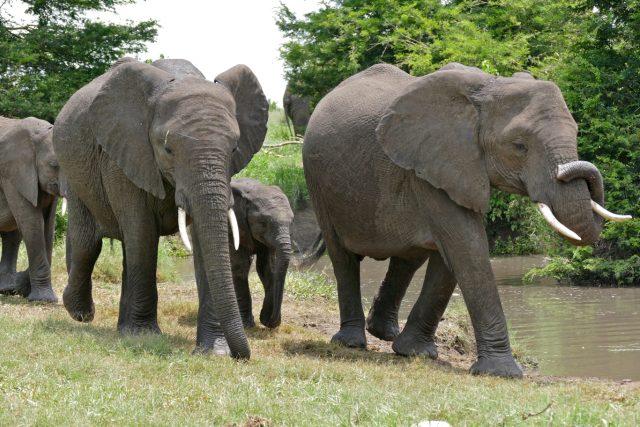 Sloni v Krugerově národním parku v Jihoafrické republice