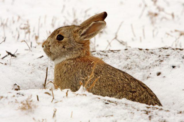 Divoký králík, zajíc, zvířata, příroda, zima, sníh