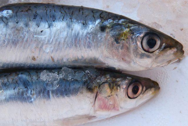 sardinky, sardinka, ryby