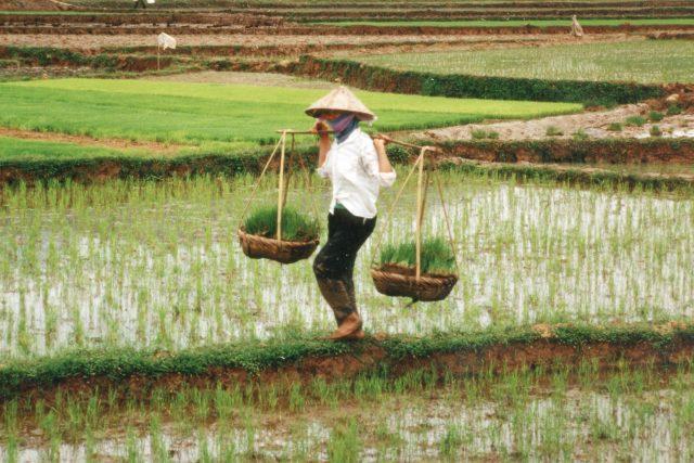 Rýžová pole ve Vietnamu