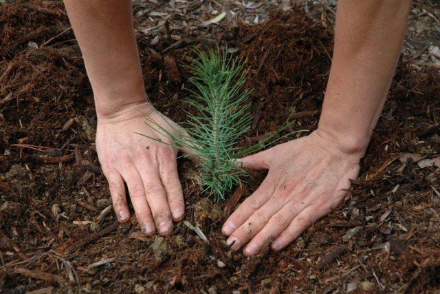 Sázení stromků v lese