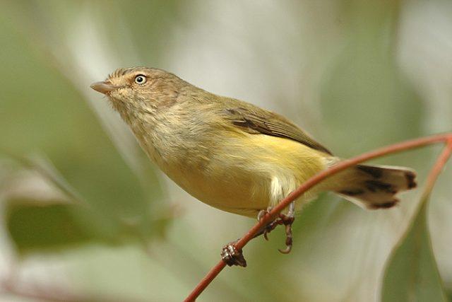 Střízlíkovec malinký (Smicrornis brevirostris), nejmenší australský pták