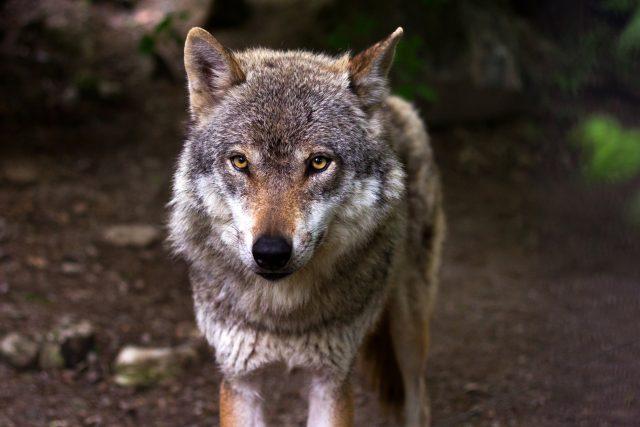 Vlk se vrací do Čech a s ním i odvěký problém ochrany hospodářských zvířat | foto:  CC0 License