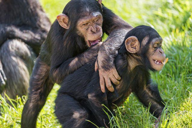 Šimpanzí mláďata (ilustrační foto)
