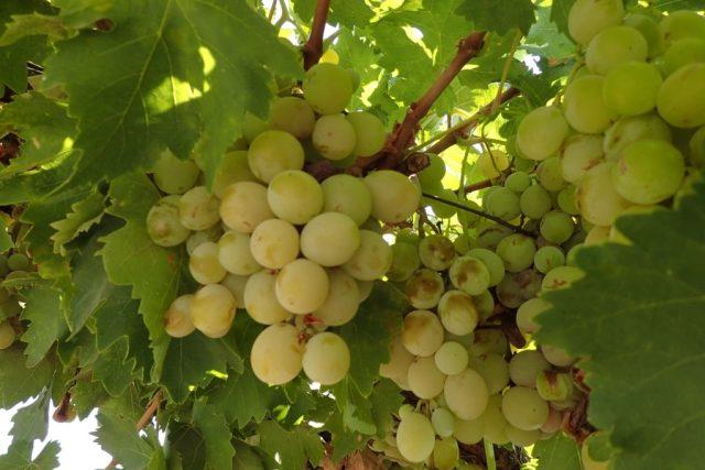 Vinné hrozny v bio kvalitě