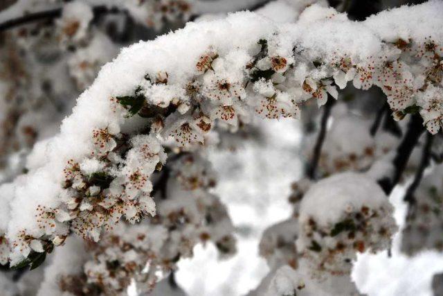 Sníh na rozkvetlé švestce